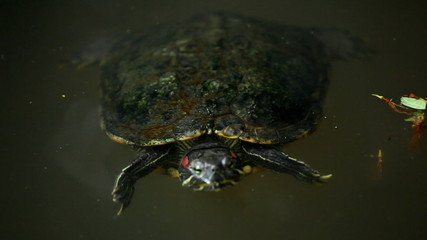 A little turtle swimming in a lake, Testudines Reptile