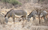 two zebras in the wild, Kenya