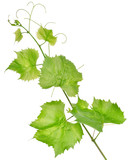 Fresh grape leaves isolated