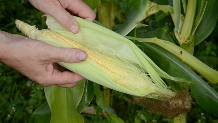 farmer in field looking fresh corn cob condition