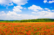 Red poppy field with blue sky in Tuscany, Italy