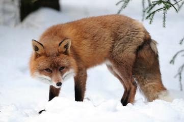 Rotfuchs,Winter