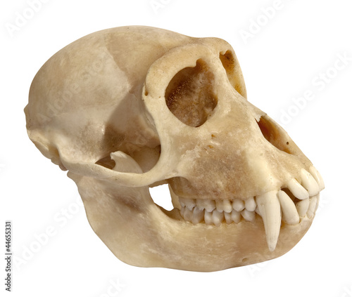 animal skull side view isolated