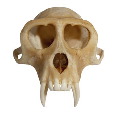 skull of an animal front view isolated on white