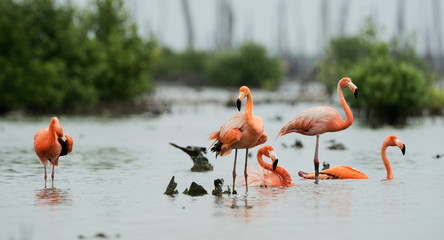 Caribean Flamingo bathing