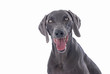 Weimaraner Dog on White Background