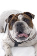 English Bulldog on White Background