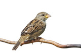 Sideways Sparrow