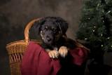 German Shepherd Puppy in Christmas Basket