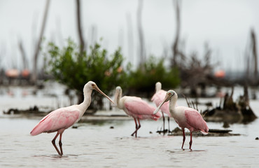 The Roseate Spoonbils