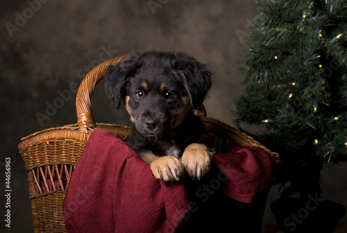 German Shepherd Puppy in Christmas Basket