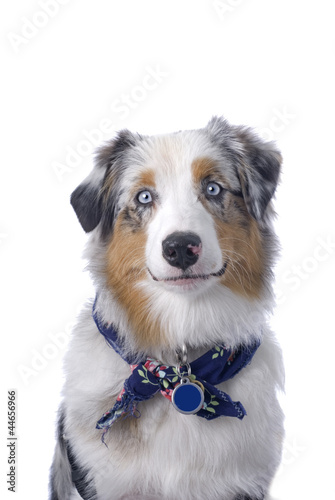 Blue-eyed Australian Shepherd on White