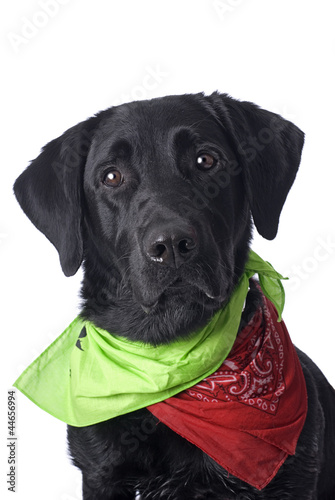 Black Lab on White with Colorful Bandanas