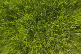 texture of a pure green dense grass