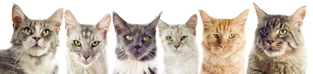 groupe de chats maine coon