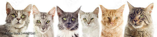 groupe de chats maine coon