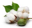 Cotton - 44673953