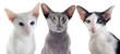 chats orientaux