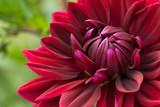 Fototapeta Blooming red dahlia