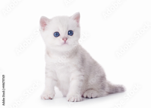 small silver british kitten on white background