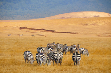 Zebras in der Savanne