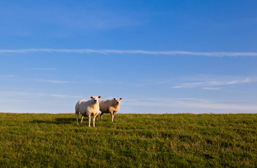 two sheep over sky