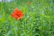 closeup of red poppy on a field