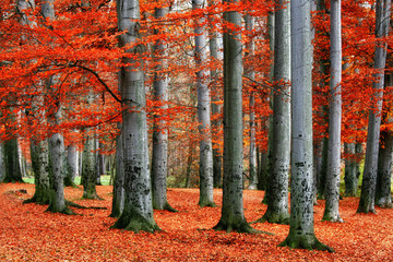 Red beech trees