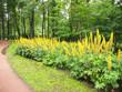 Leinwanddruck Bild - Ligularia przewalskii in the flower bed