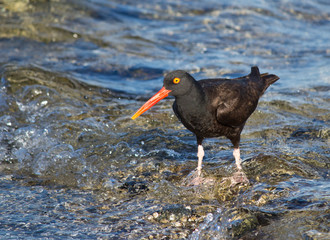 Oyster catcher bird standing on waves