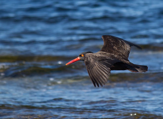Flying oyster catcher bird