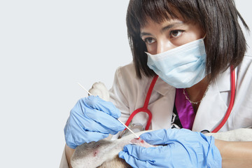 Female veterinarian cleaning injury on dog's leg with stick bud over gray background