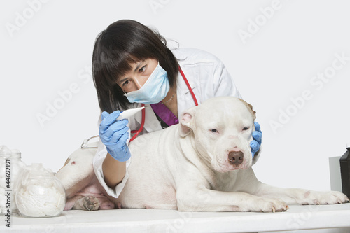 Female veterinarian checking temperature of dog over gray background