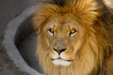 Majestic lion male with golden mane Close up poster