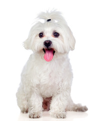 Beautiful white Bichon Maltese