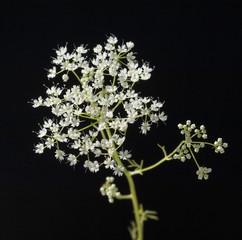 Anisbluete, Anis, Pimpinella anisum