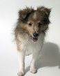 Junger Sheltie, Mini-Collie