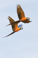 Macaws in Flight 5
