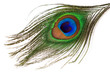 peacock feather isolated