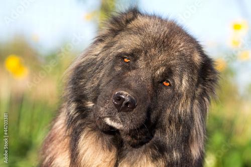 Caucasian Shepherd head