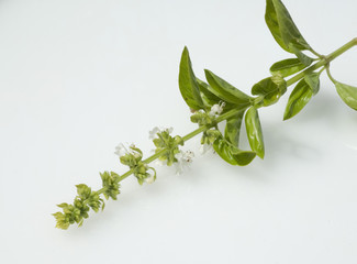 Basilikum; Ocimum basilicum, Bluete