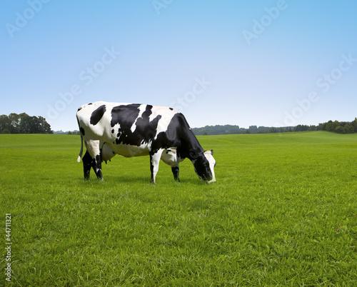 Kuh auf de Weide