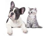 Fototapety Cat and dog, British kitten and  French Bulldog puppy