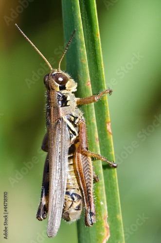 Grasshopper Clinging to a Blade of Grass