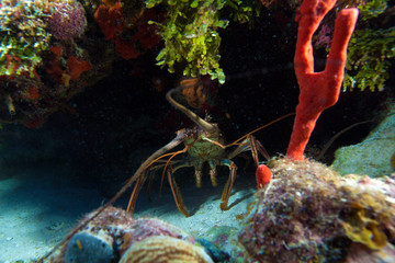Red lobster in the wild, Cayo Largo, Cuba
