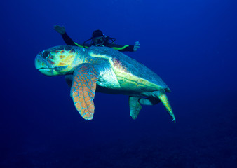 Old big green turtle and diver, Cuba