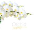 obraz - White orchid