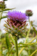 Purple artichoke flower, cardoon (Cynara cardunculus) .