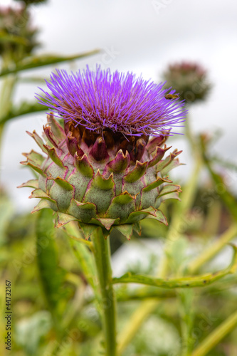 Purple artichoke flower, cardoon (Cynara cardunculus)