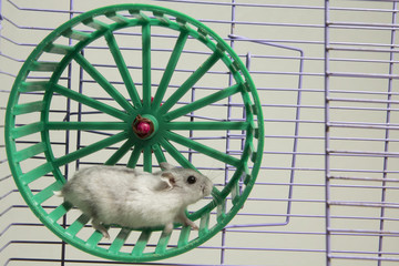 hamster running in the wheel.